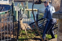 Albanese Rescuing a Deer